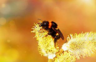 Bombo insetto: caratteristiche, cosa mangia e dove vive
